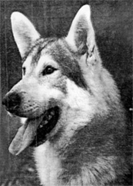 White Northern Inuit Dog
